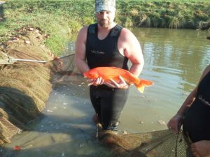 One of the koi in a farm pond. We sell these fish and they are the perfect additions to any pond.